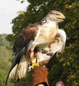 Raphael-Falconry-eagle-276x300